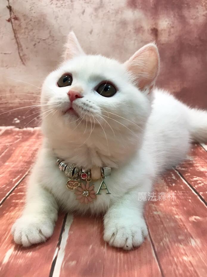 魔法森林/雪白英國短毛貓 氣質妹妹