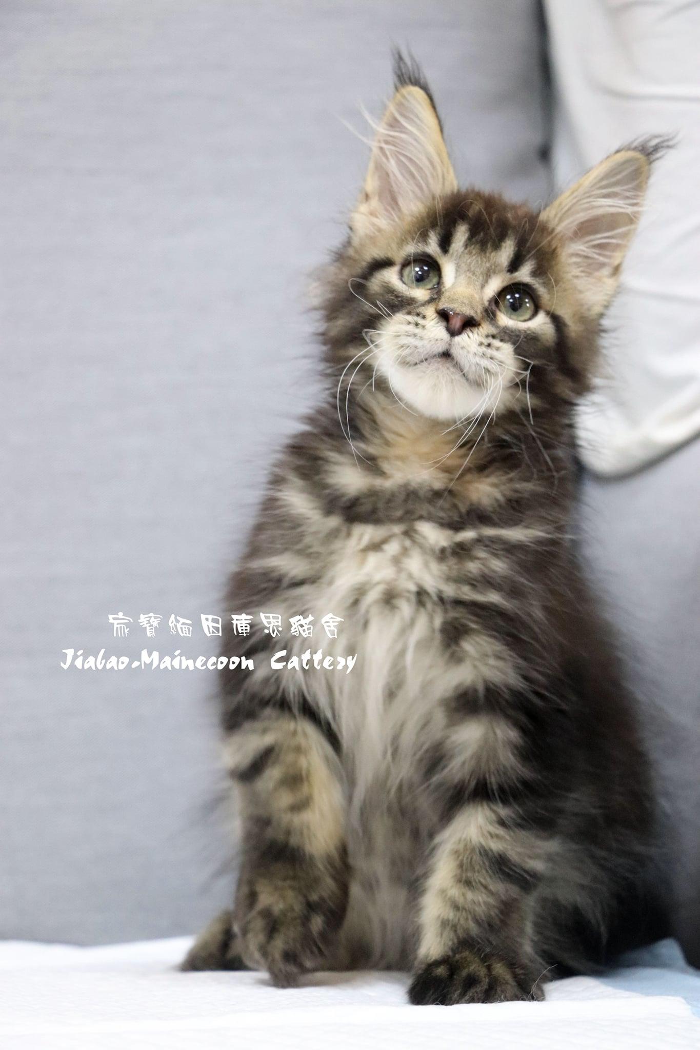 家寶寵物/虎斑色緬因貓 男生
