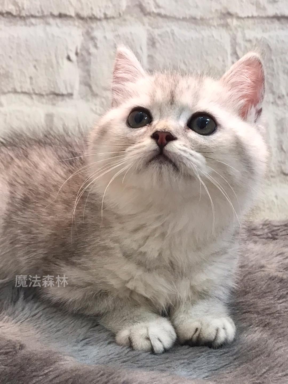 魔法森林/銀灰色漸層 英國短毛貓