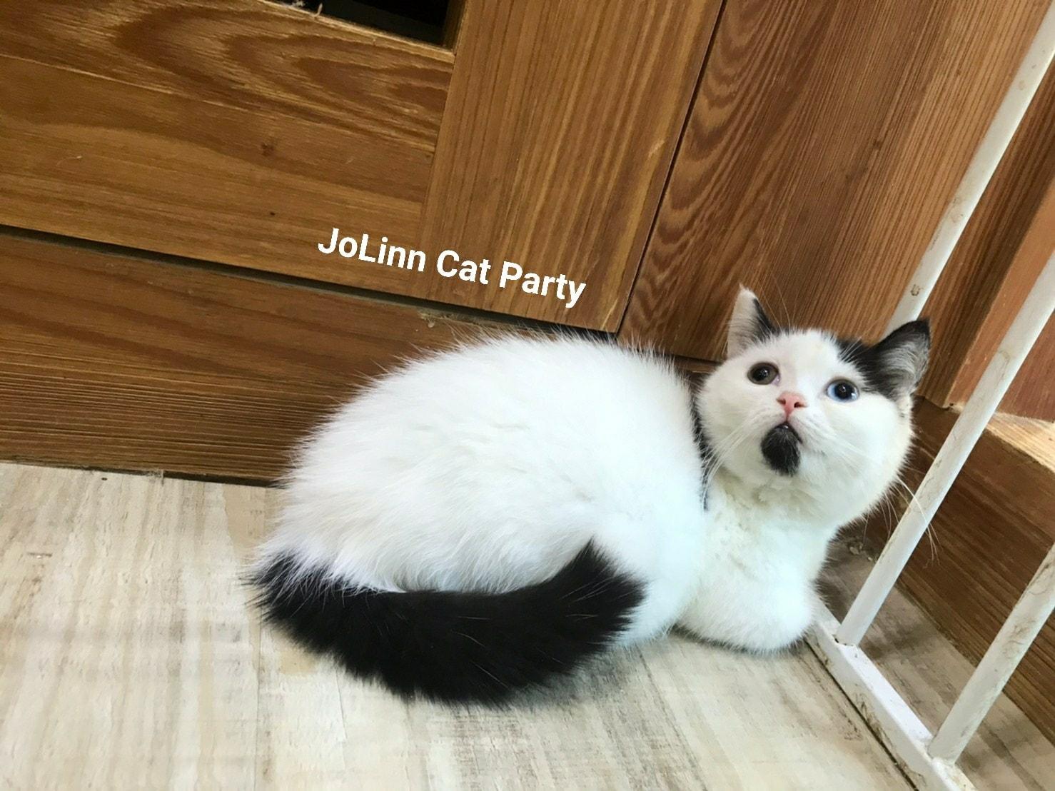 貓咪派對/黑白乳牛色 異瞳 曼赤肯短腿貓