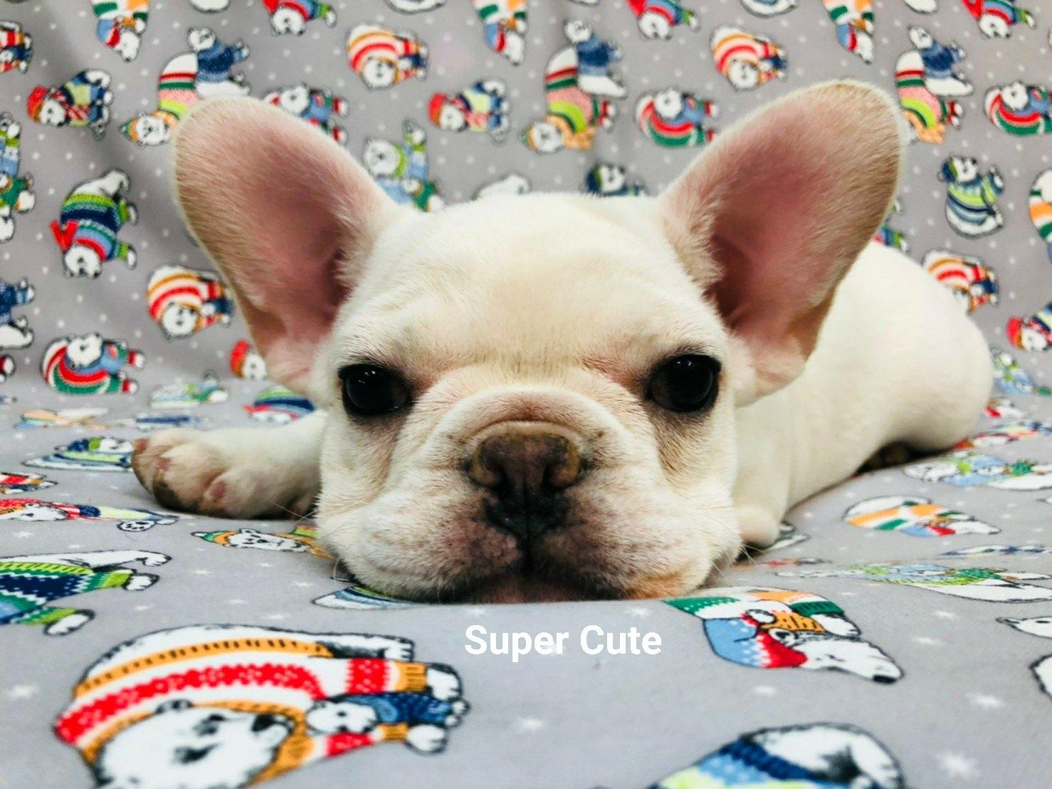 超可愛名犬社/超可愛的奶油 黑面法鬥