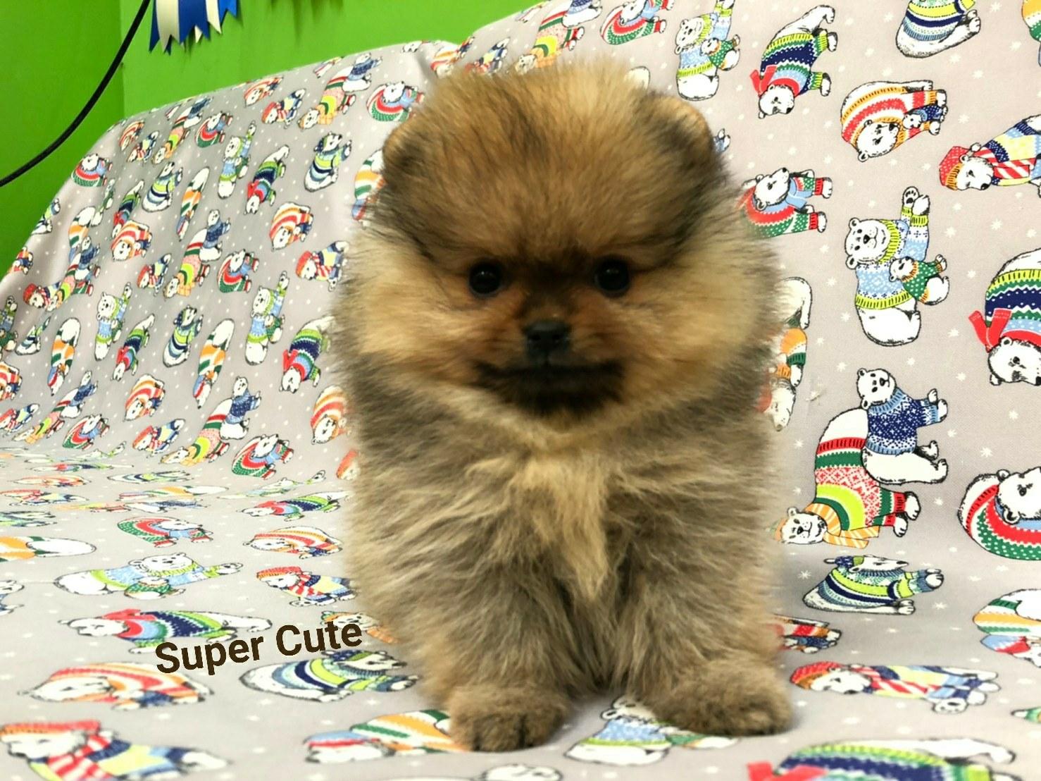 超可愛名犬社/超可愛的博美寶寶