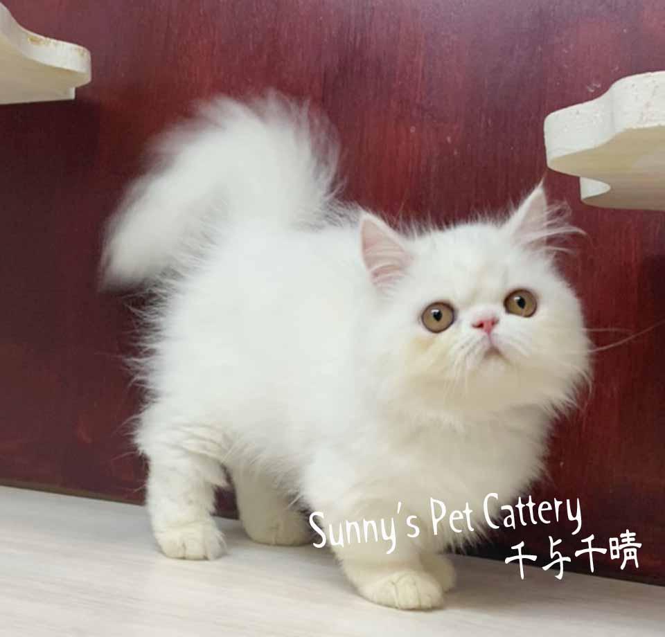 千晴寵物坊/純淨白色小步舞曲貓