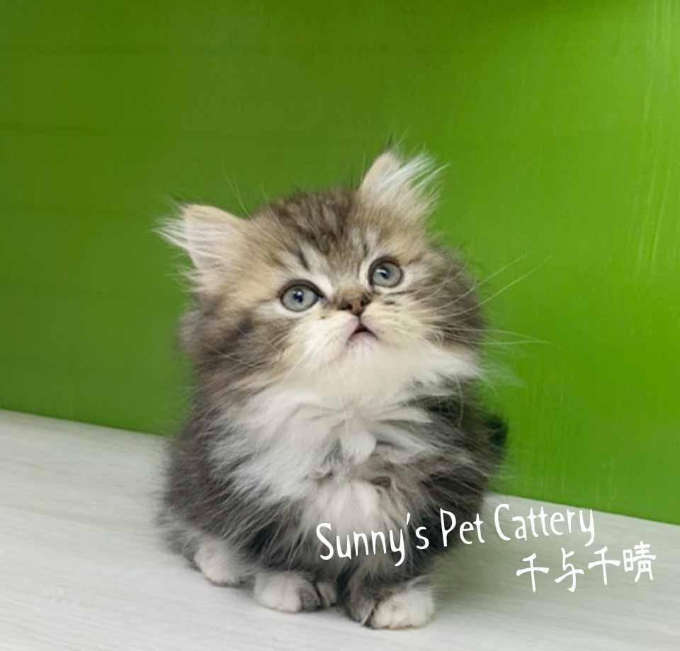 千晴寵物坊/虎斑白小步舞曲貓