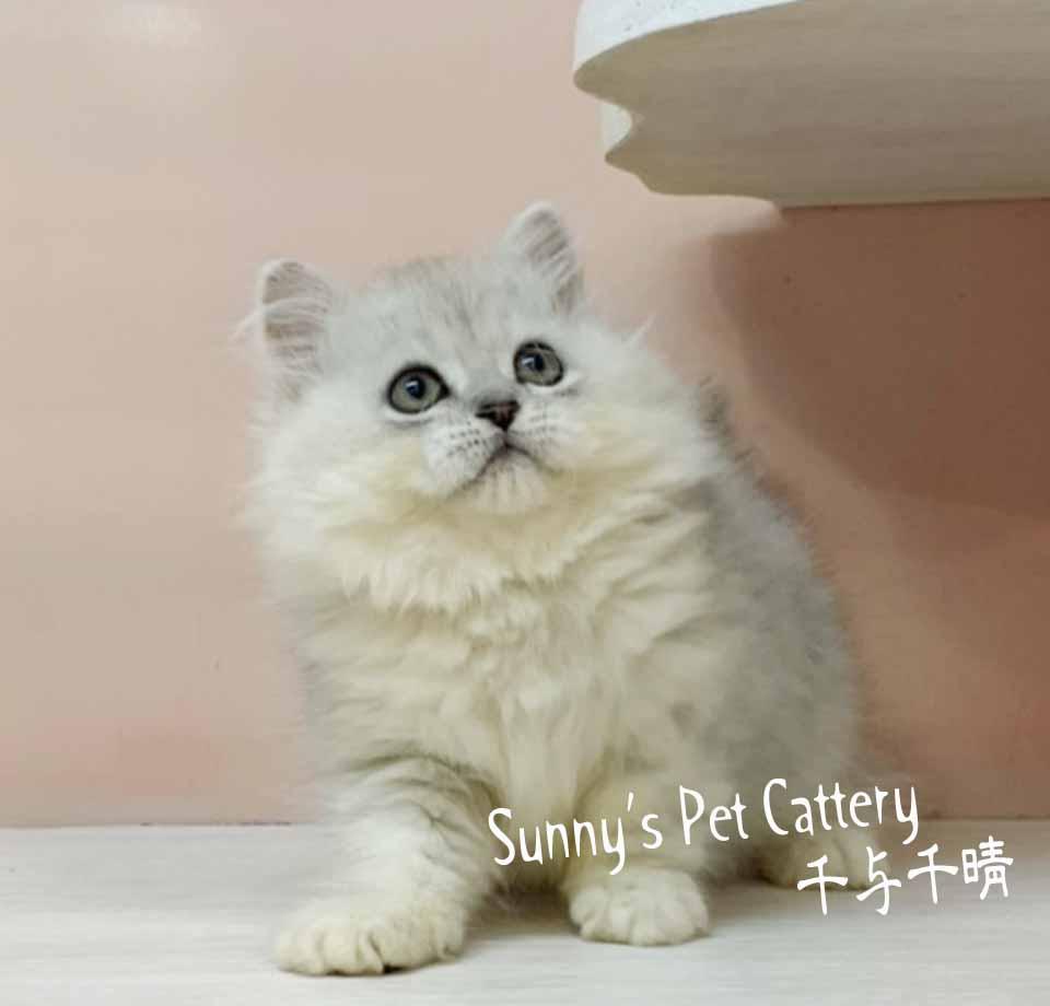 千晴寵物坊/銀白色金吉拉弟弟