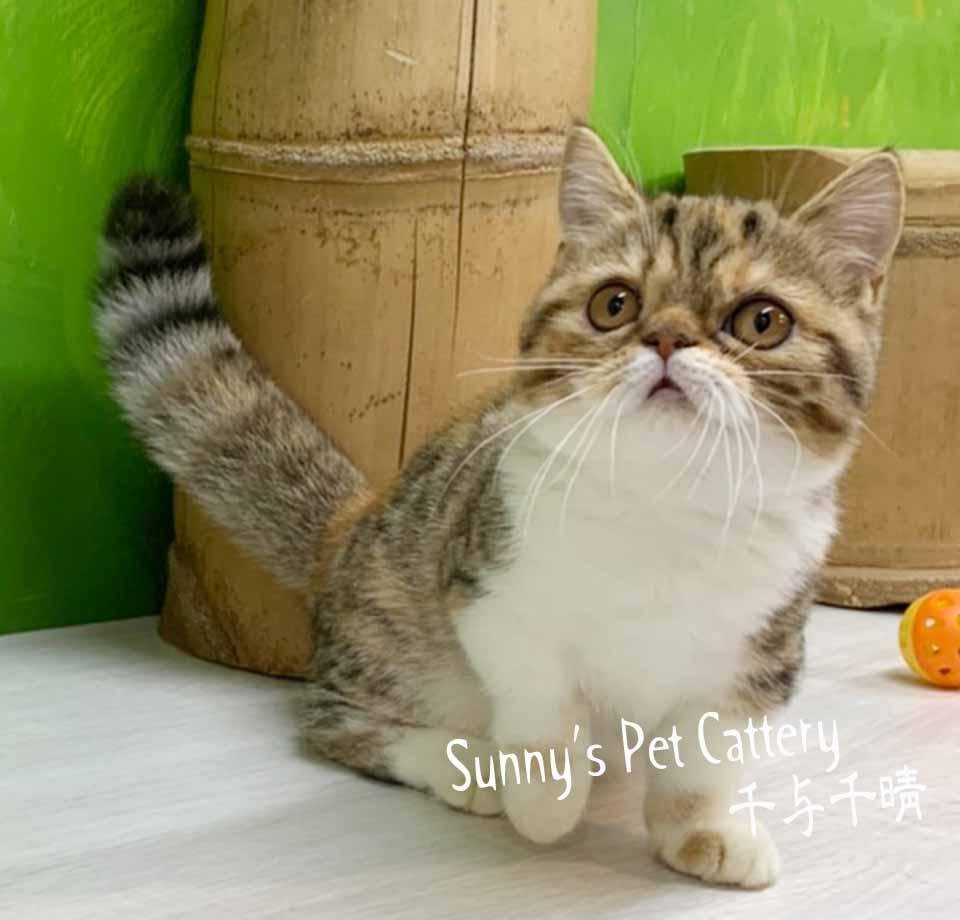 千晴寵物坊/黃金琥珀色短腿貓妹妹