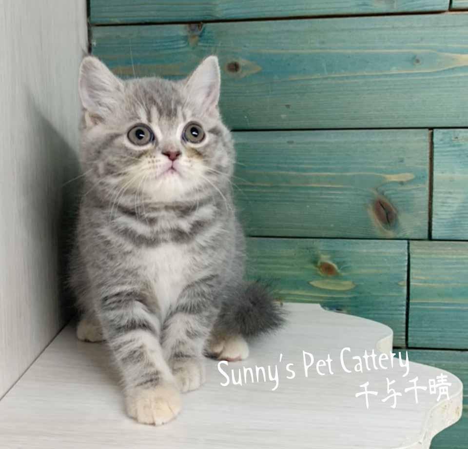 千晴寵物坊/藍虎斑 大眼英國短毛貓