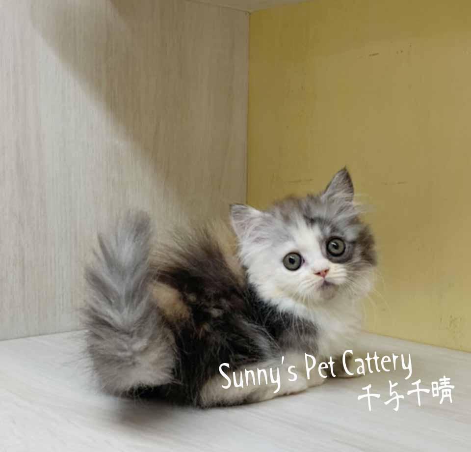 千晴寵物坊/歌劇魅影 黑三花小步舞曲貓
