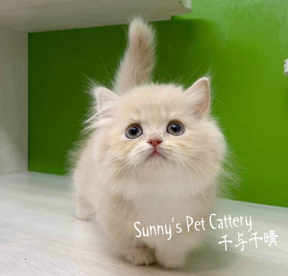 千晴寵物坊/奶油白淘氣小步舞曲短腿貓