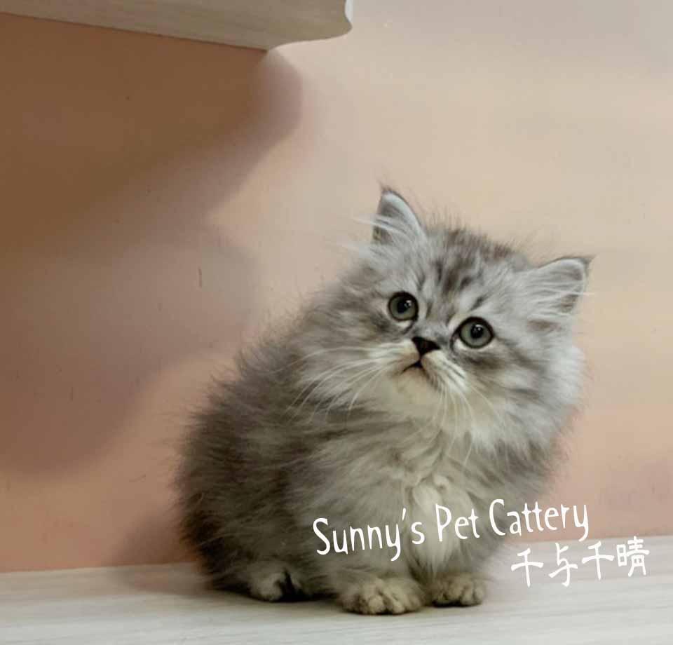 千晴寵物坊/銀白色小步舞曲短腿小龍貓