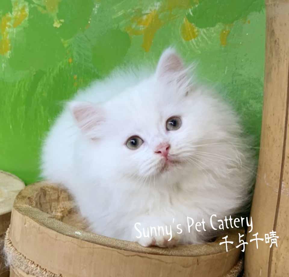 千晴寵物坊/純淨白深邃的美眸波斯貓