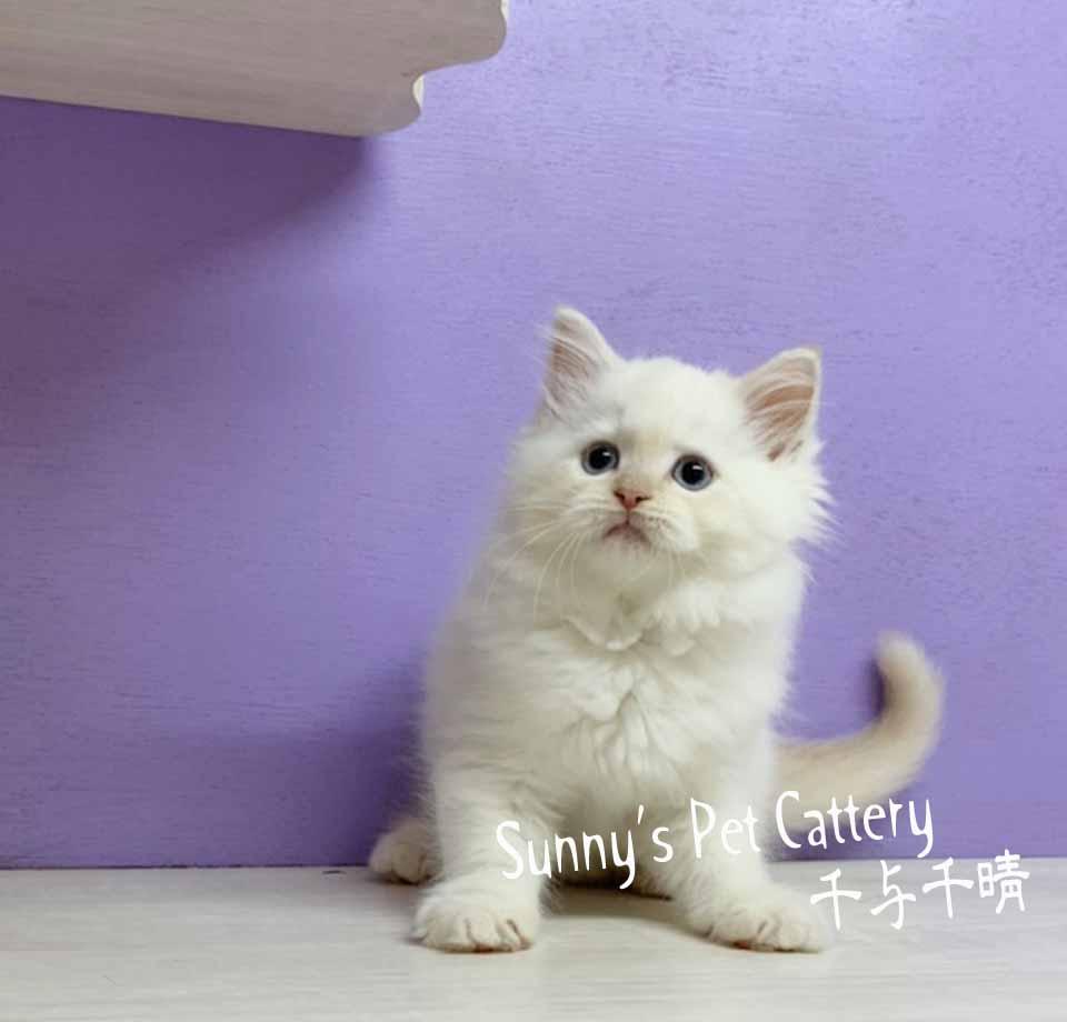 千晴寵物坊/湛藍色的雙眼 奶油端子色布偶貓