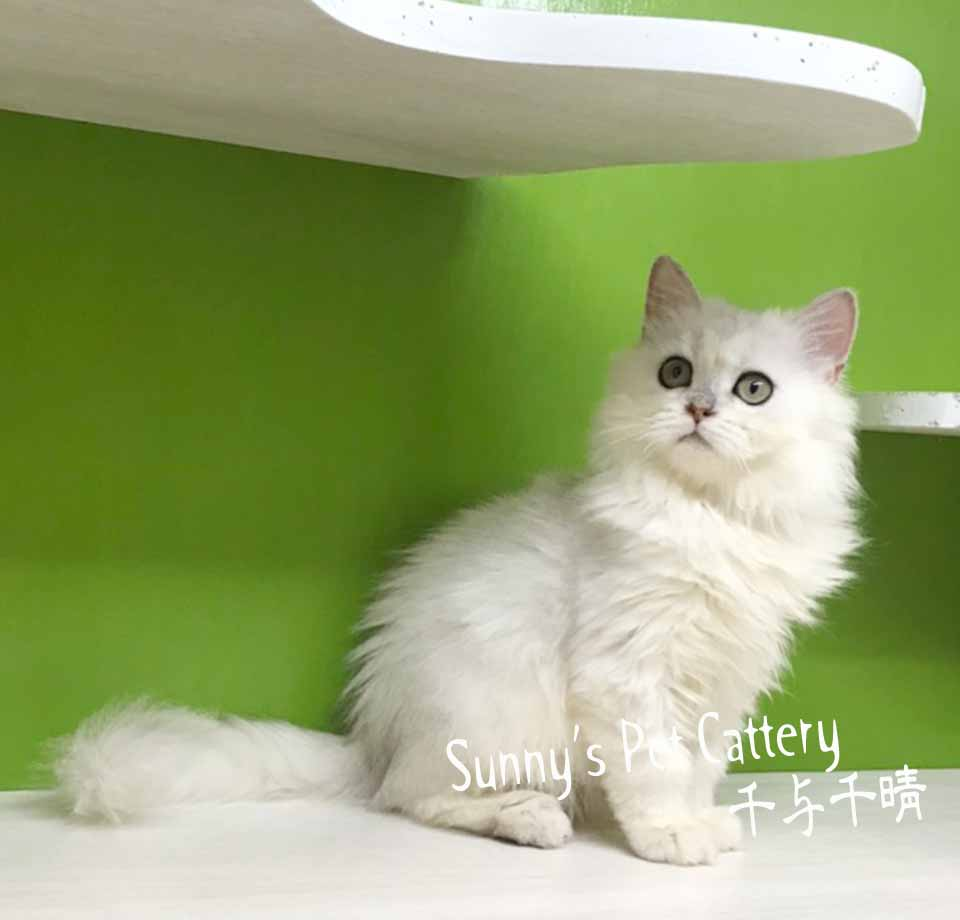 千晴寵物坊/淺銀白色 金吉拉妹妹
