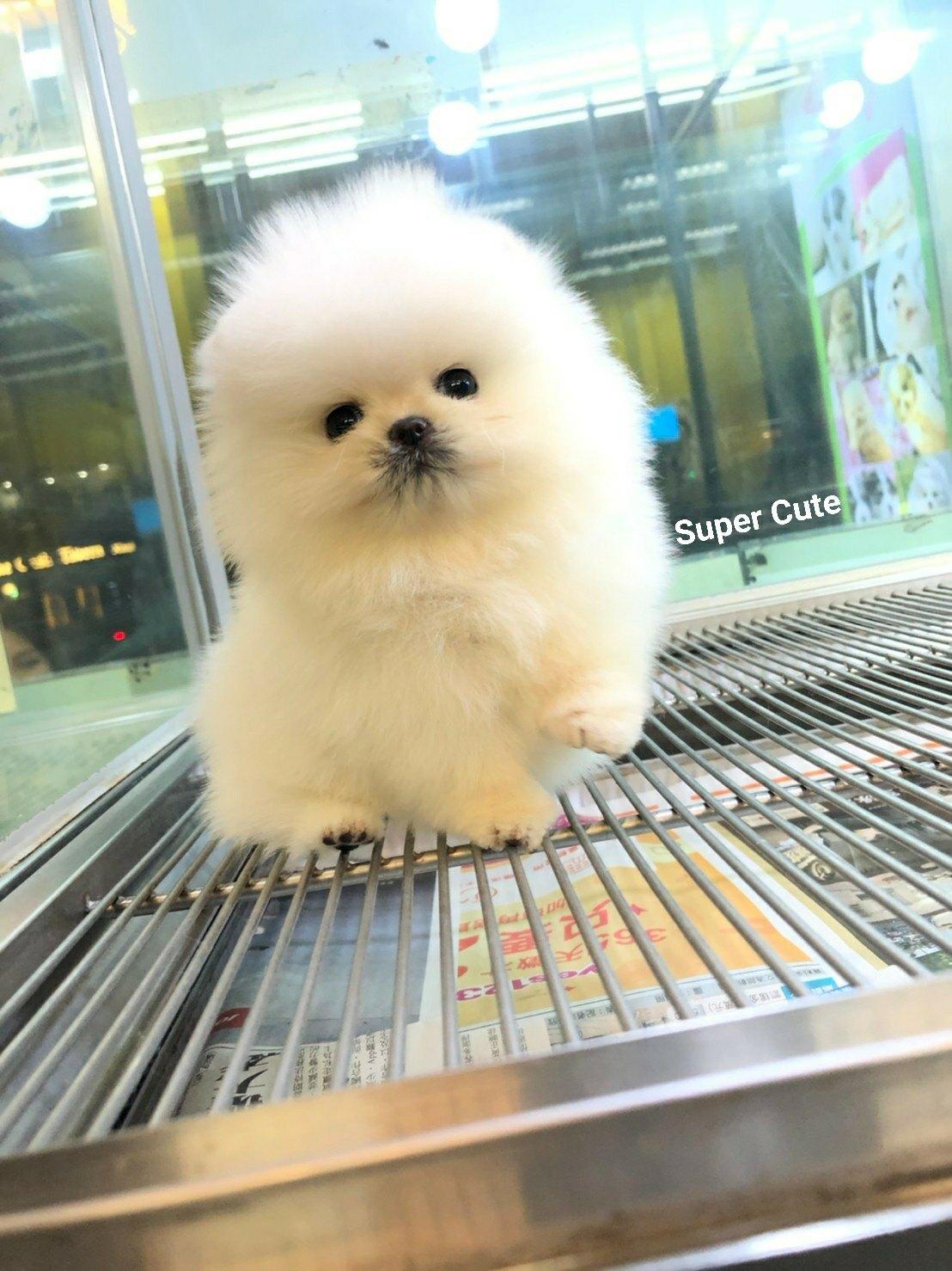 超可愛名犬社/超可愛的白色松鼠博美