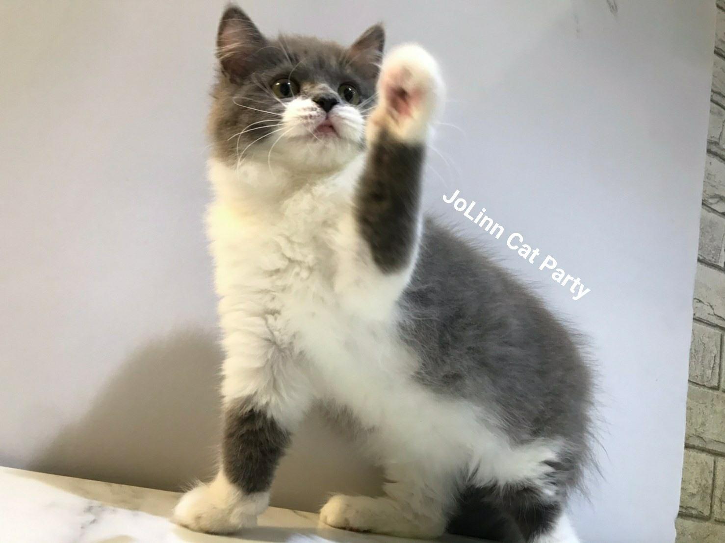 貓咪派對/藍面罩 蝙蝠俠 英國長毛貓