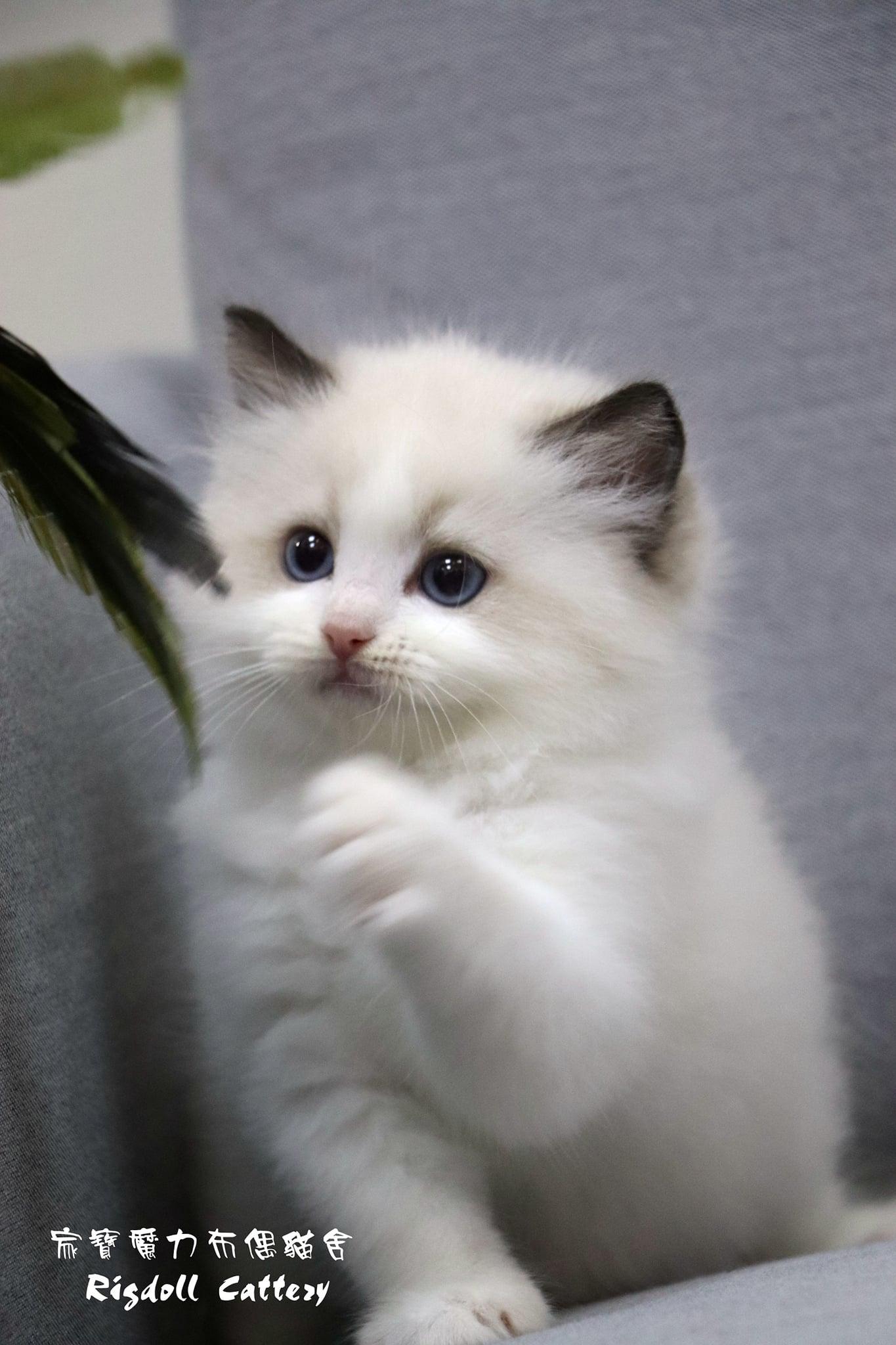 家寶寵物/海豹雙色布偶貓女生