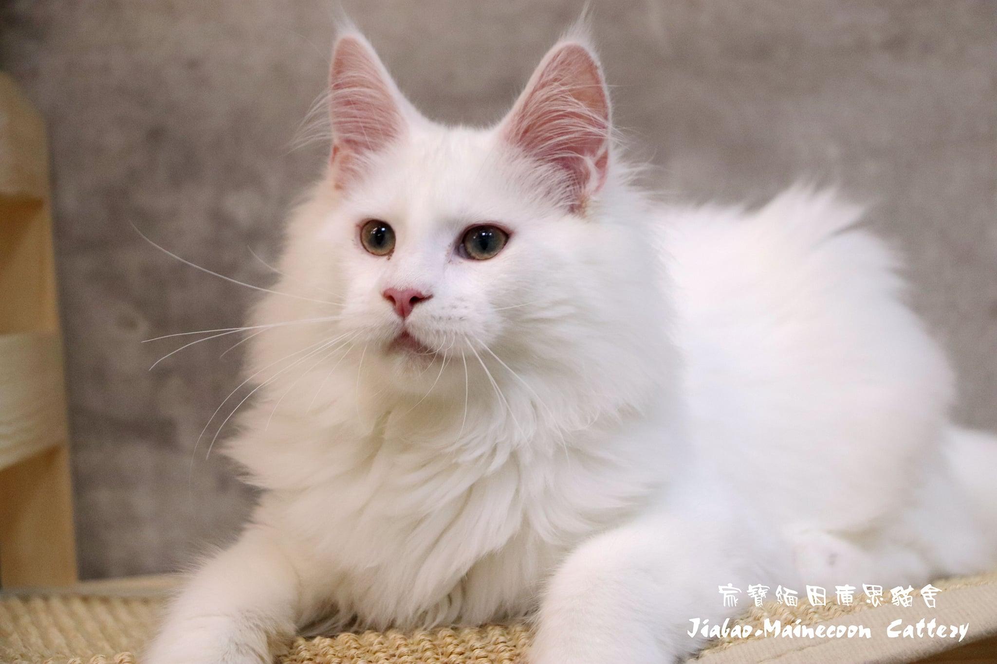 家寶寵物/白色緬因貓 男生