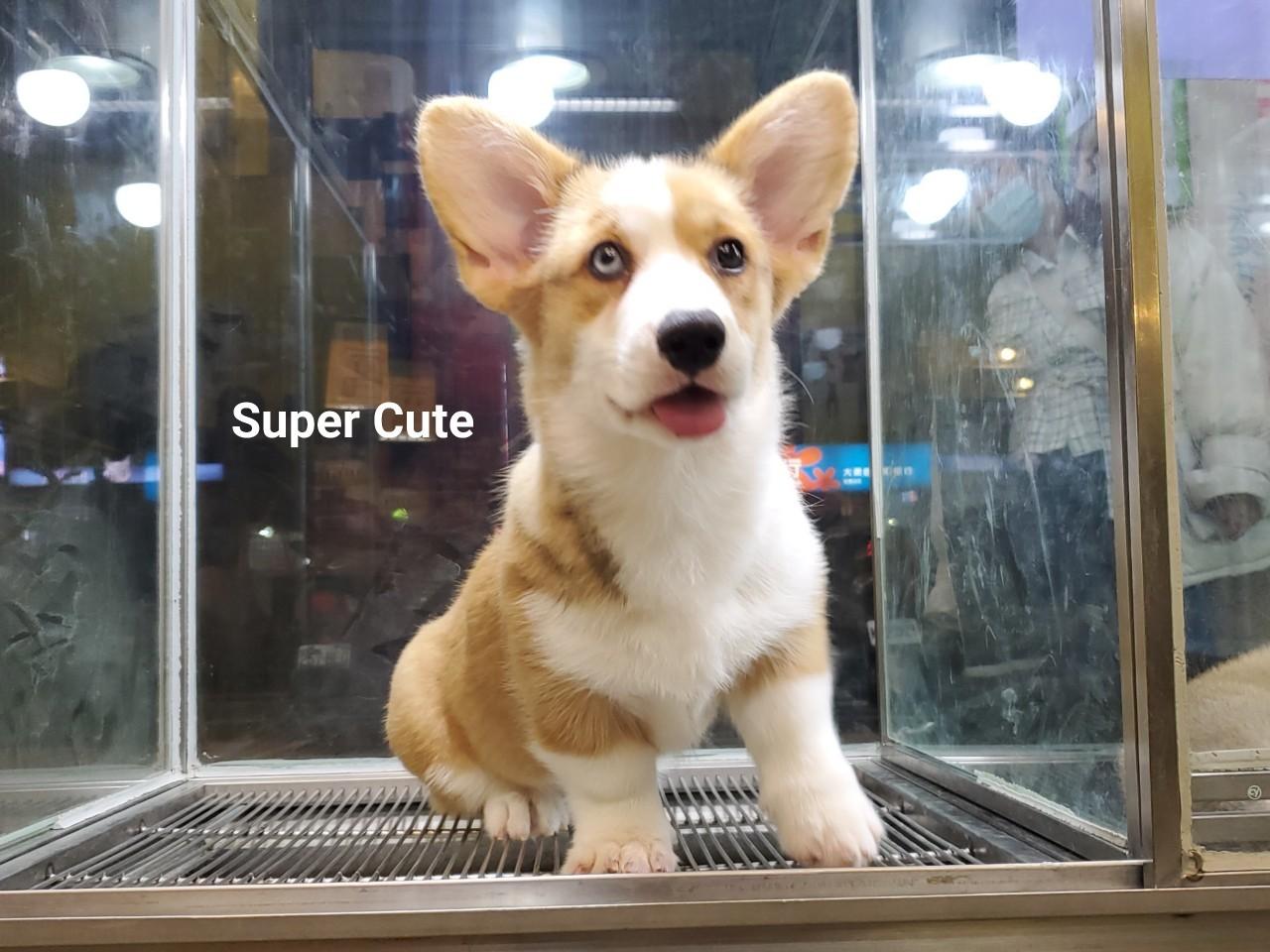 超可愛名犬社/超可愛的異瞳雙色柯基