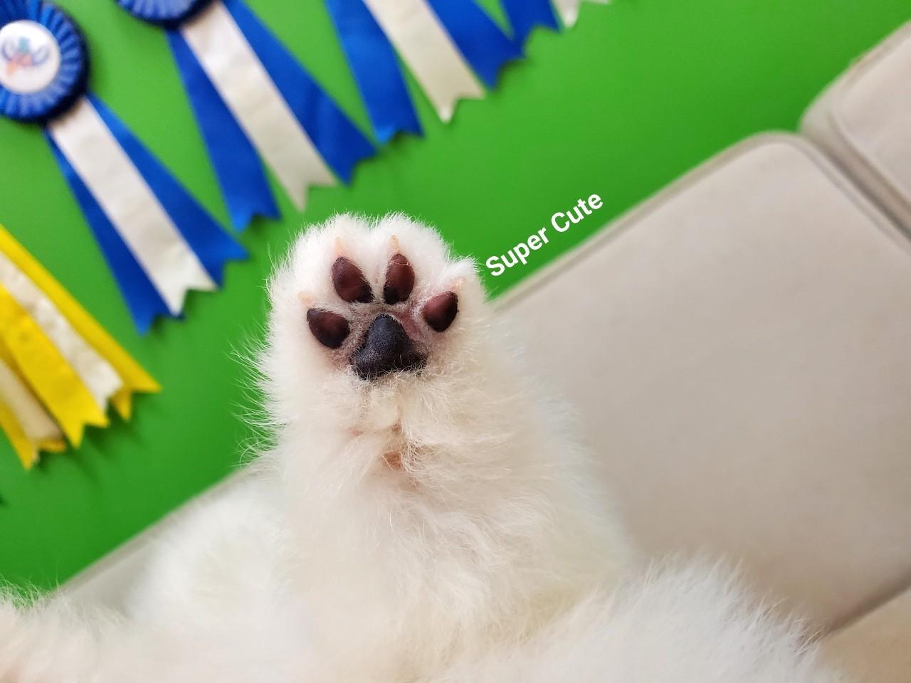 超可愛名犬社/超可愛的白博美幼犬