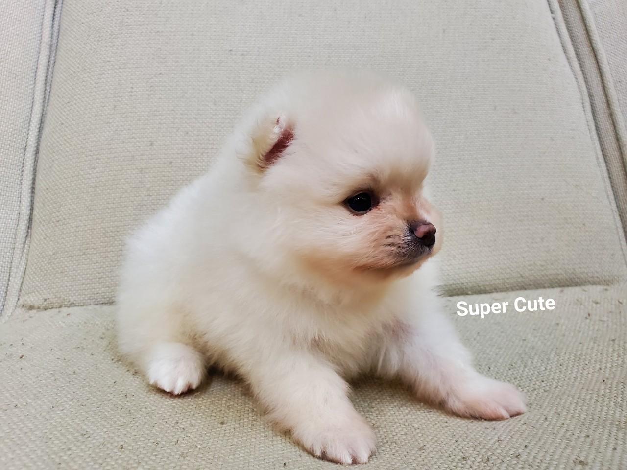超可愛名犬社/超可愛的淺花色博美