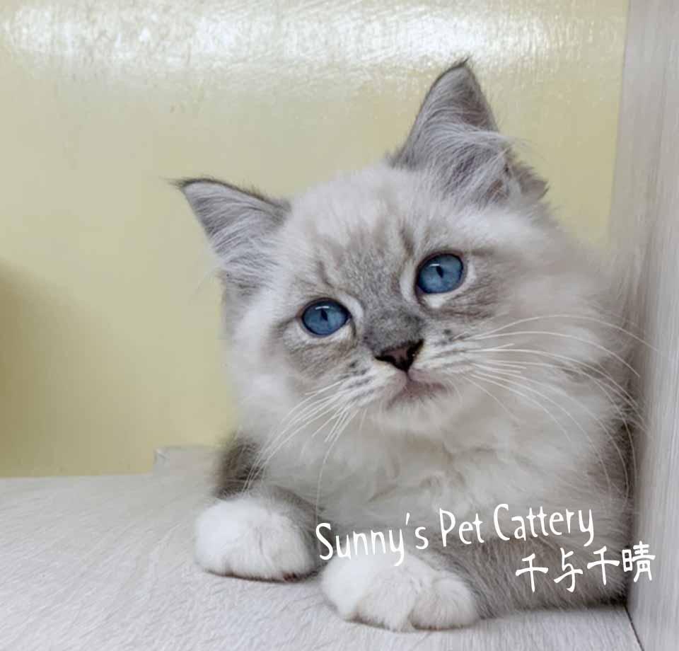 千晴寵物坊/藍山貓紋布偶貓