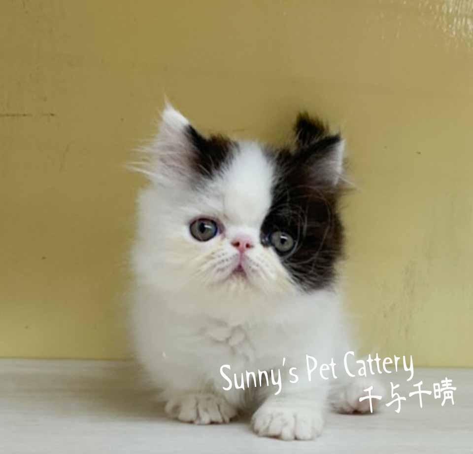 千晴寵物坊/黑白色小步舞曲短腿貓