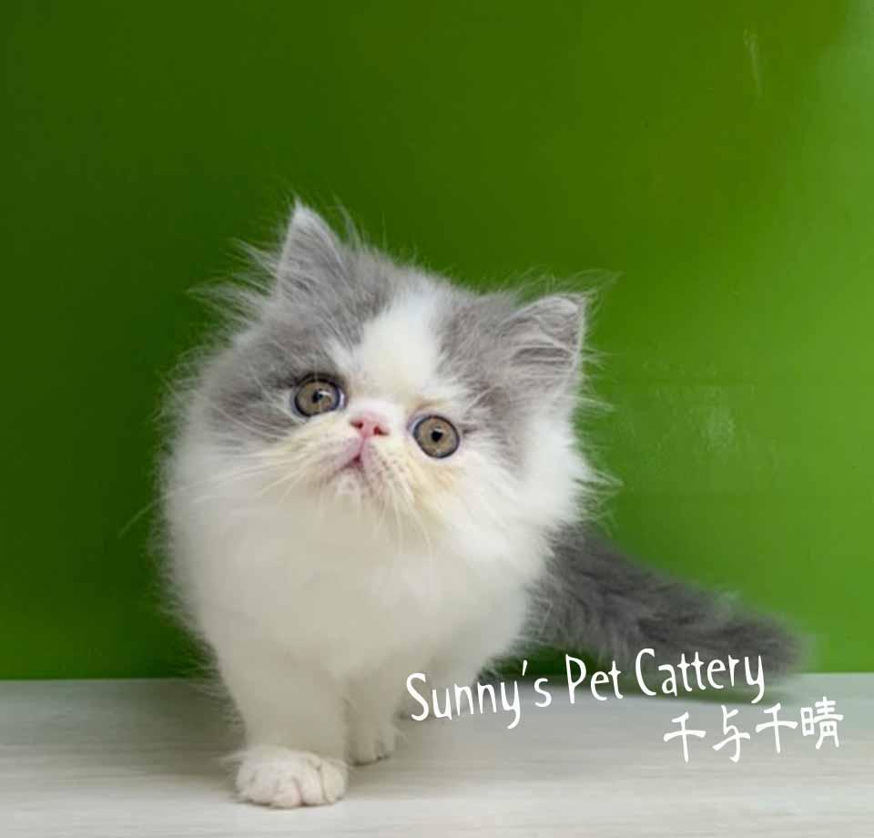千晴寵物坊/藍白賓士波斯貓
