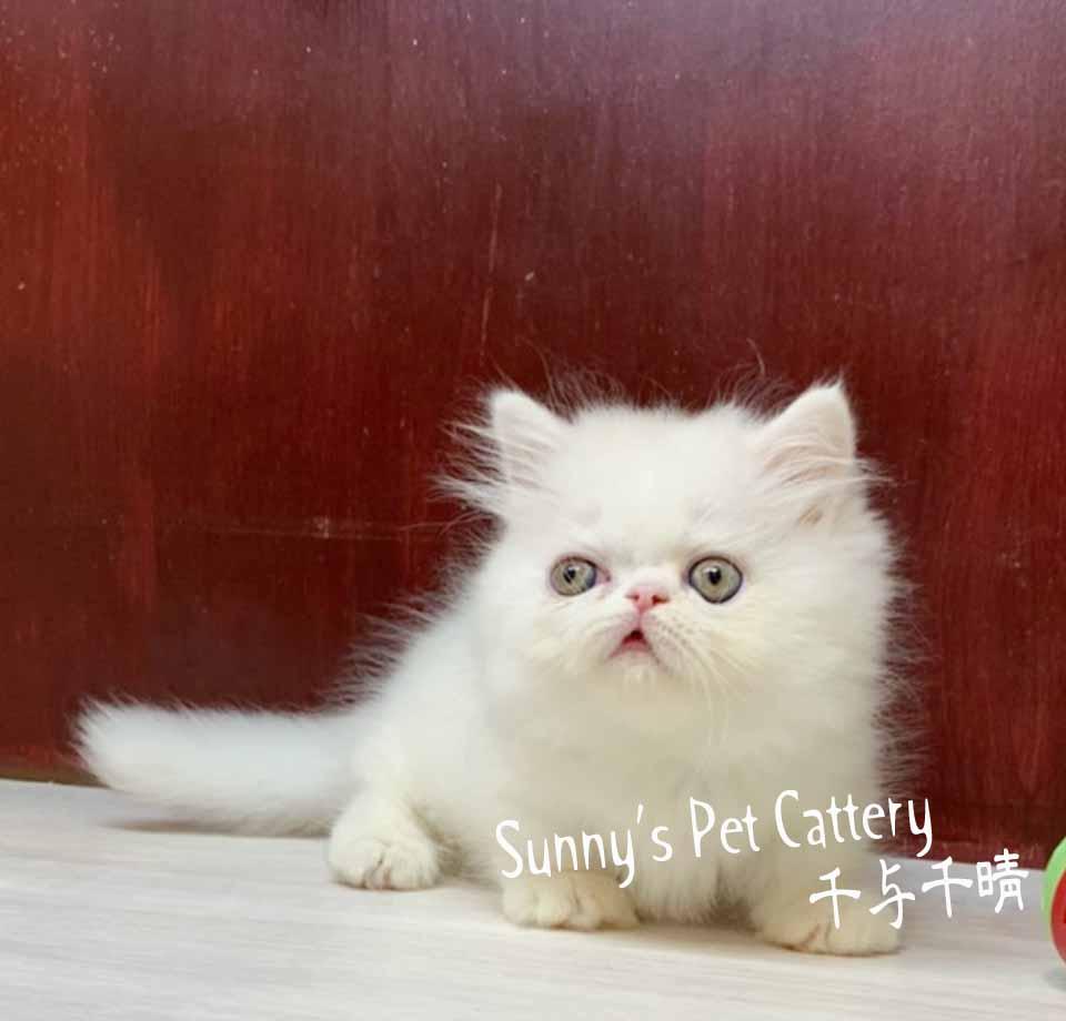千晴寵物坊/奶油白小步舞曲短腿貓