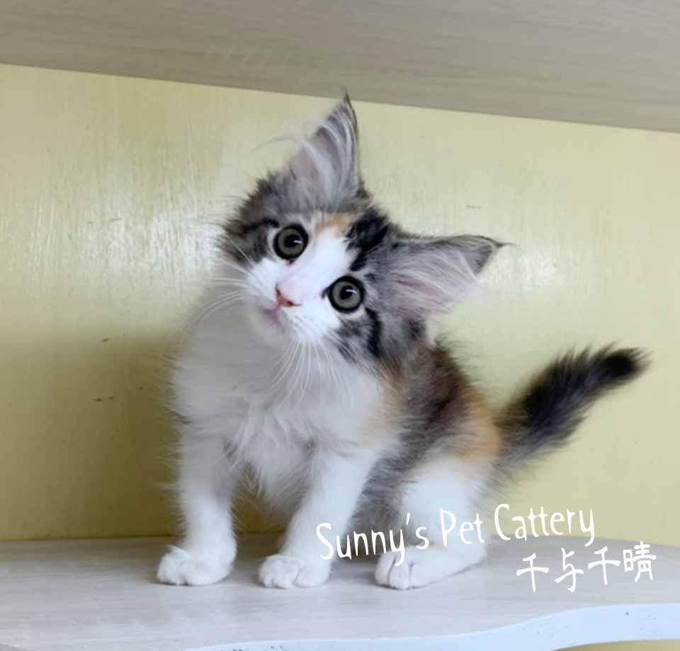 千晴寵物坊/黑三花挪威森林貓