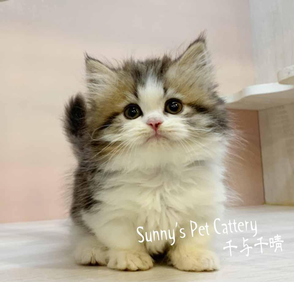 千晴寵物坊/虎斑賓士加白小步舞曲貓
