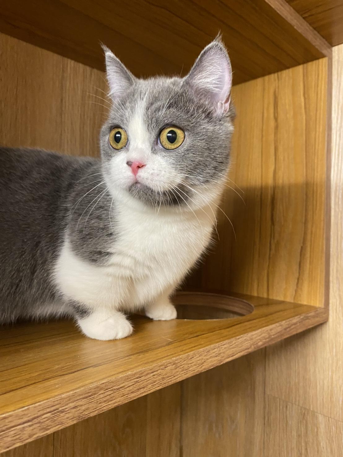 朵貓貓旅館/藍白曼赤肯妹妹貓