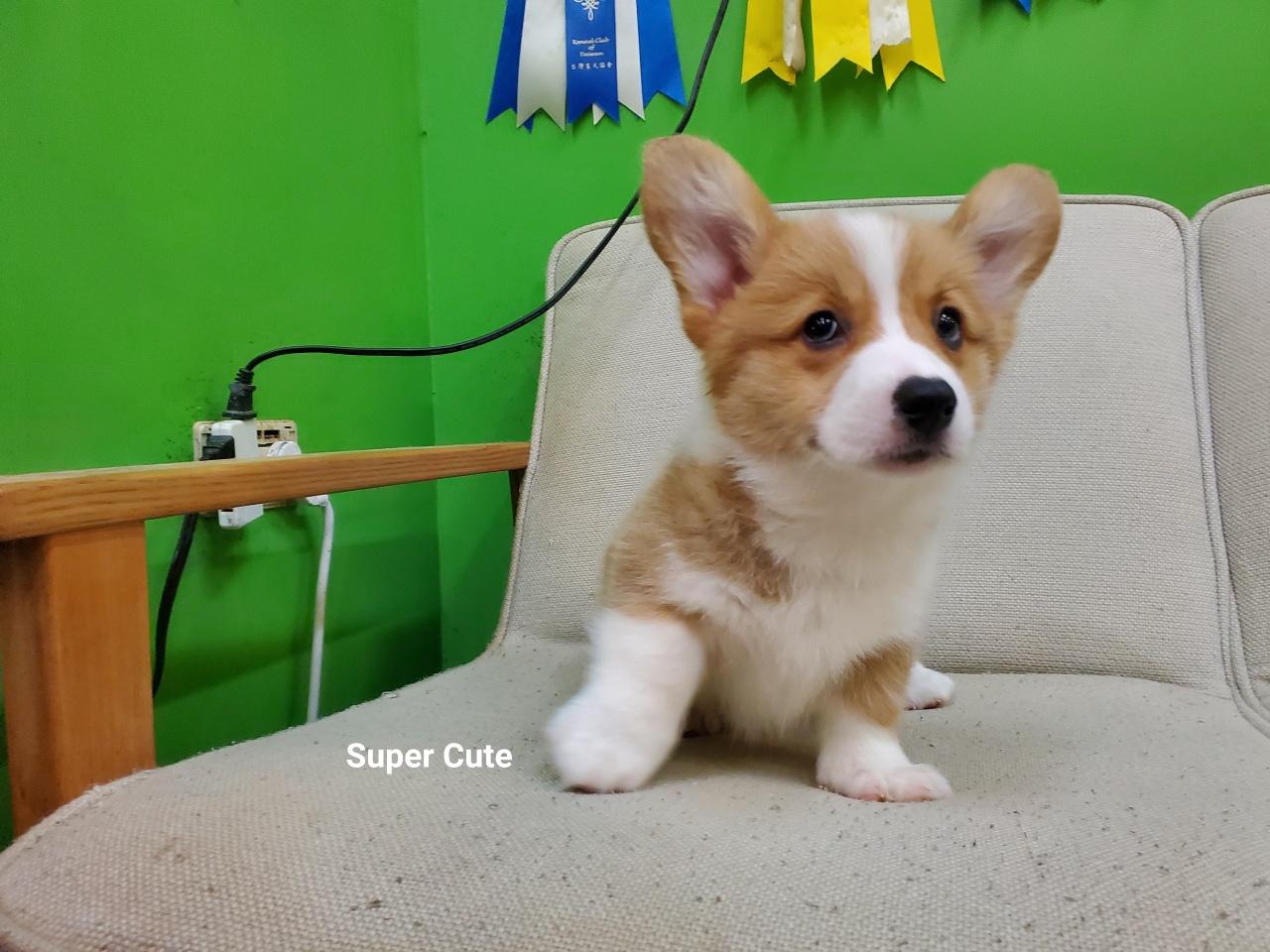 超可愛名犬社/超可愛的雙色柯基