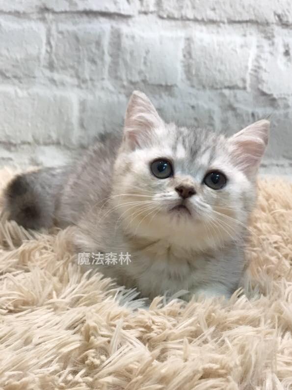 魔法森林/銀虎斑漸層色曼赤肯短腿貓
