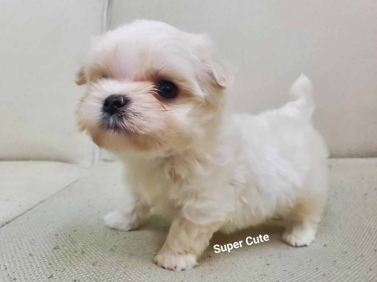 超可愛名犬社/超可愛的瑪爾濟斯