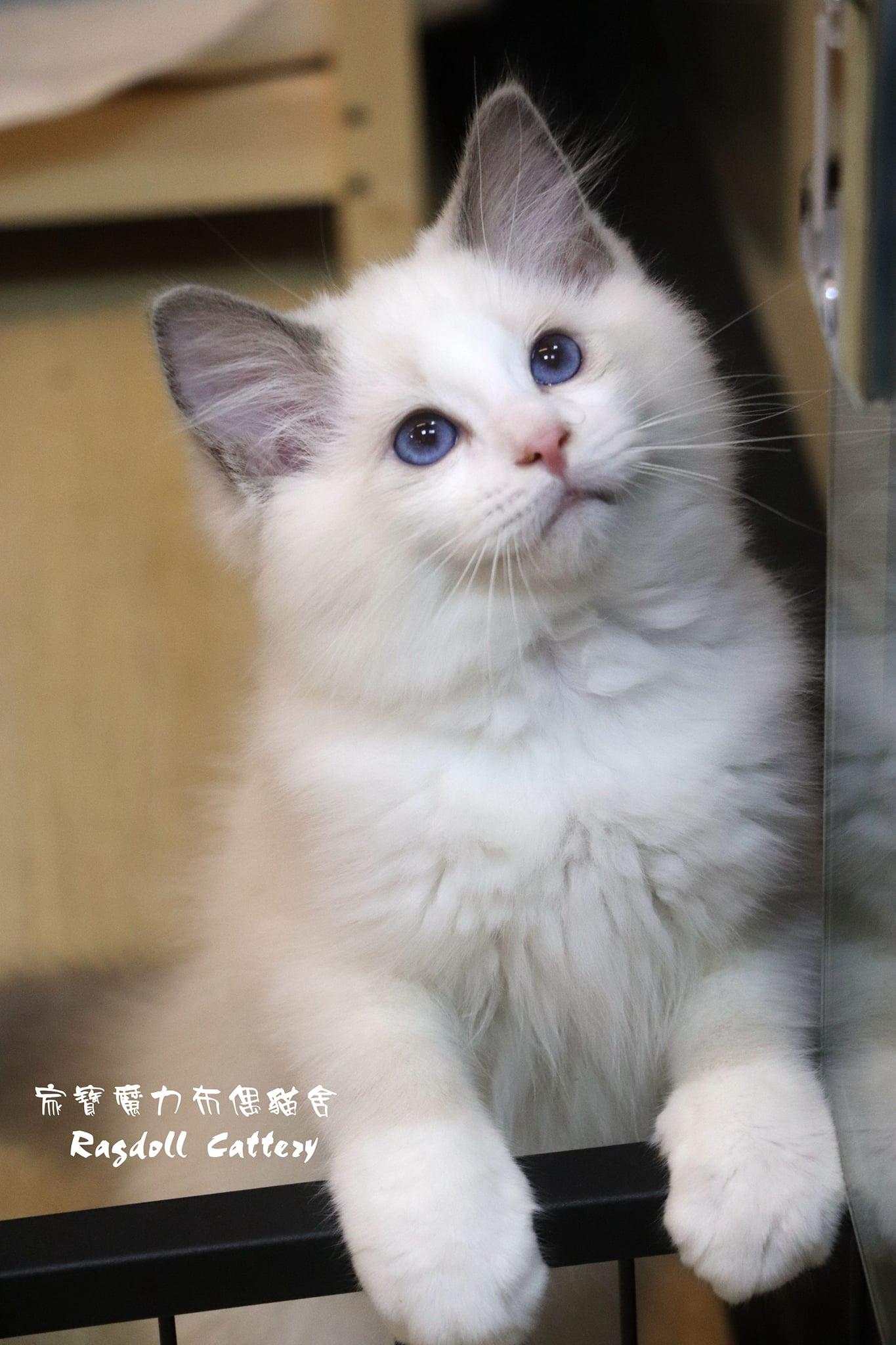 家寶寵物/藍雙色布偶 男生