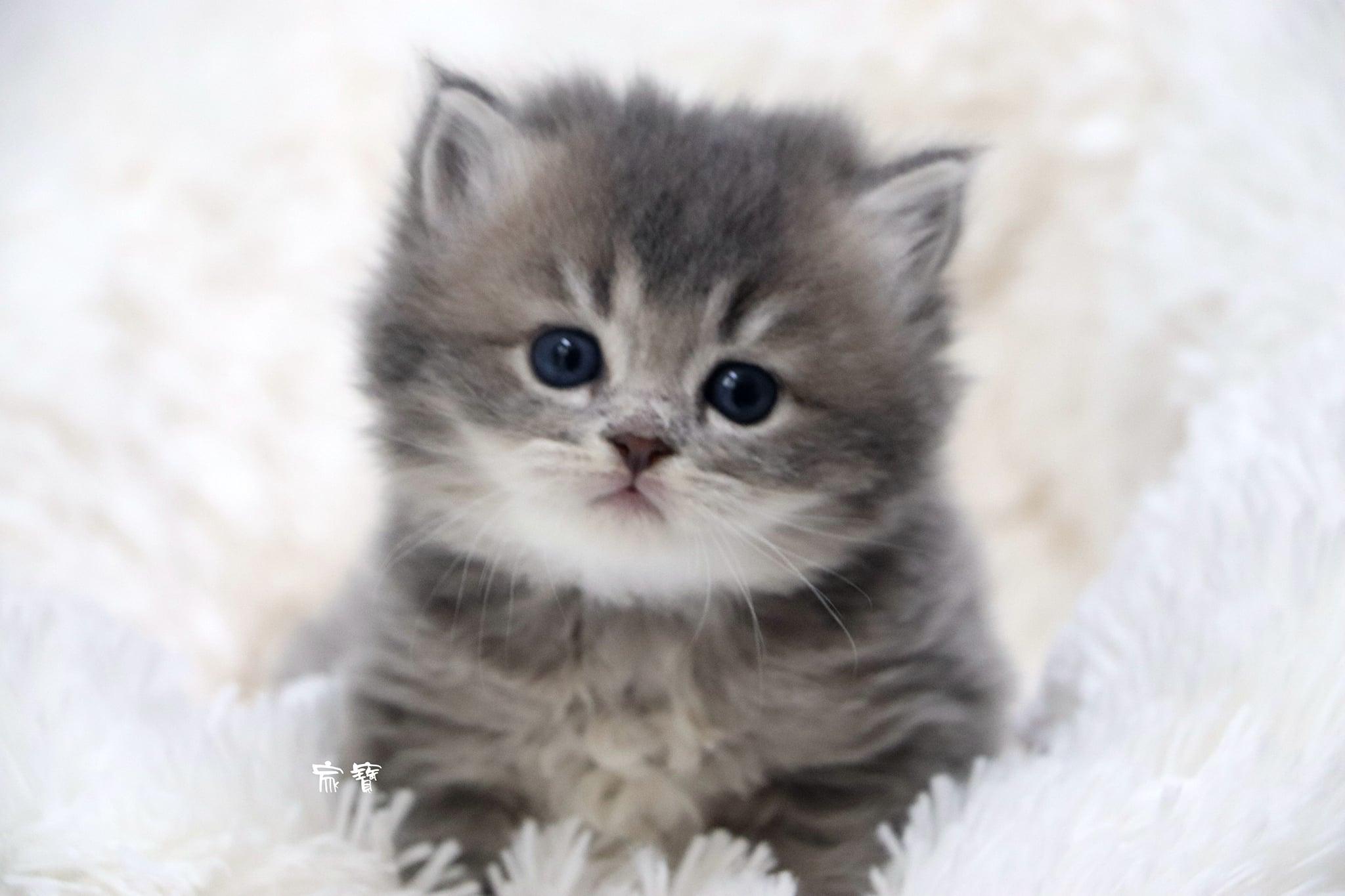 家寶寵物/藍金英國長毛貓 男生