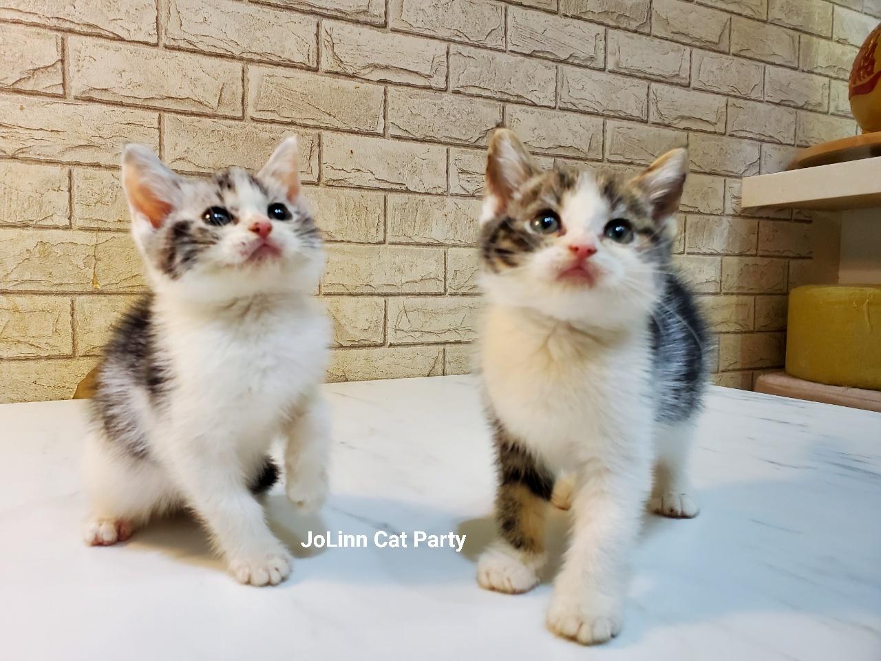 貓咪派對/加白賓士 美短紋