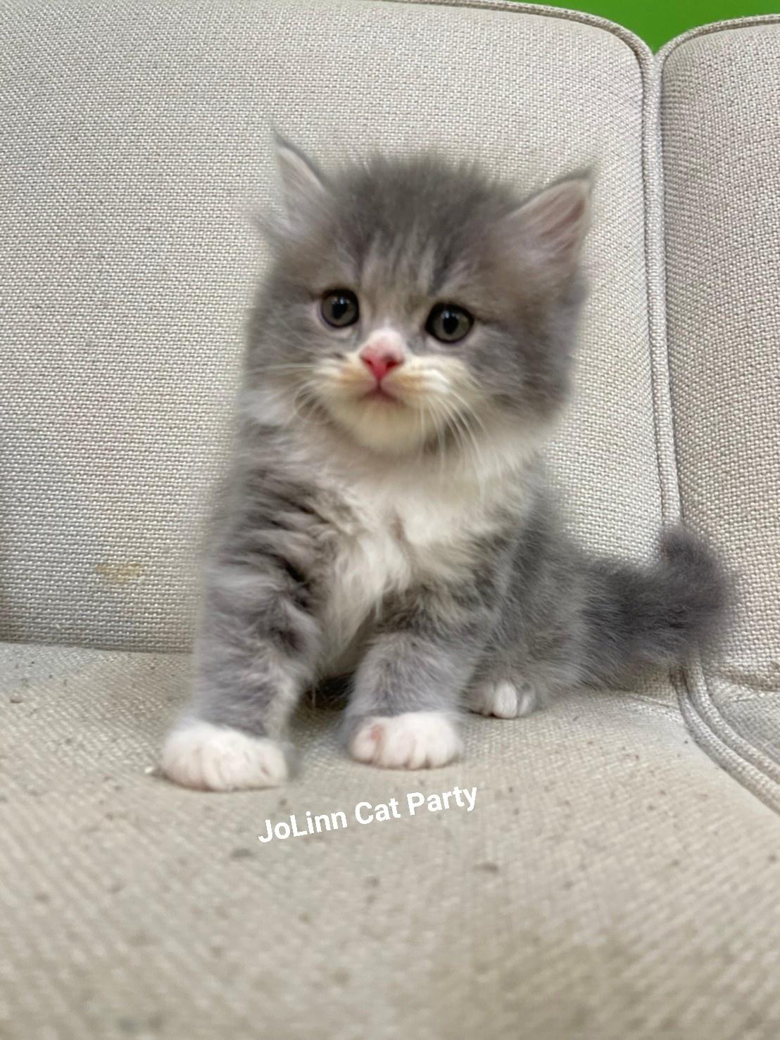 貓咪派對/藍奶油加白英國長毛貓