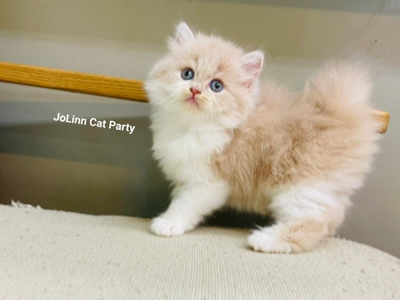 貓咪派對/奶油白英國長毛貓