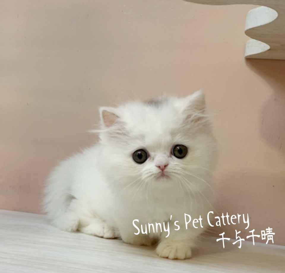 千晴寵物坊/白雪公主小步舞曲貓 短腿松鼠貓