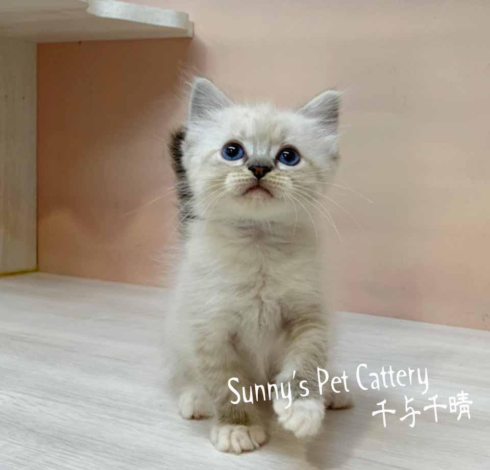 千晴寵物坊/藍山貓紋 布偶貓