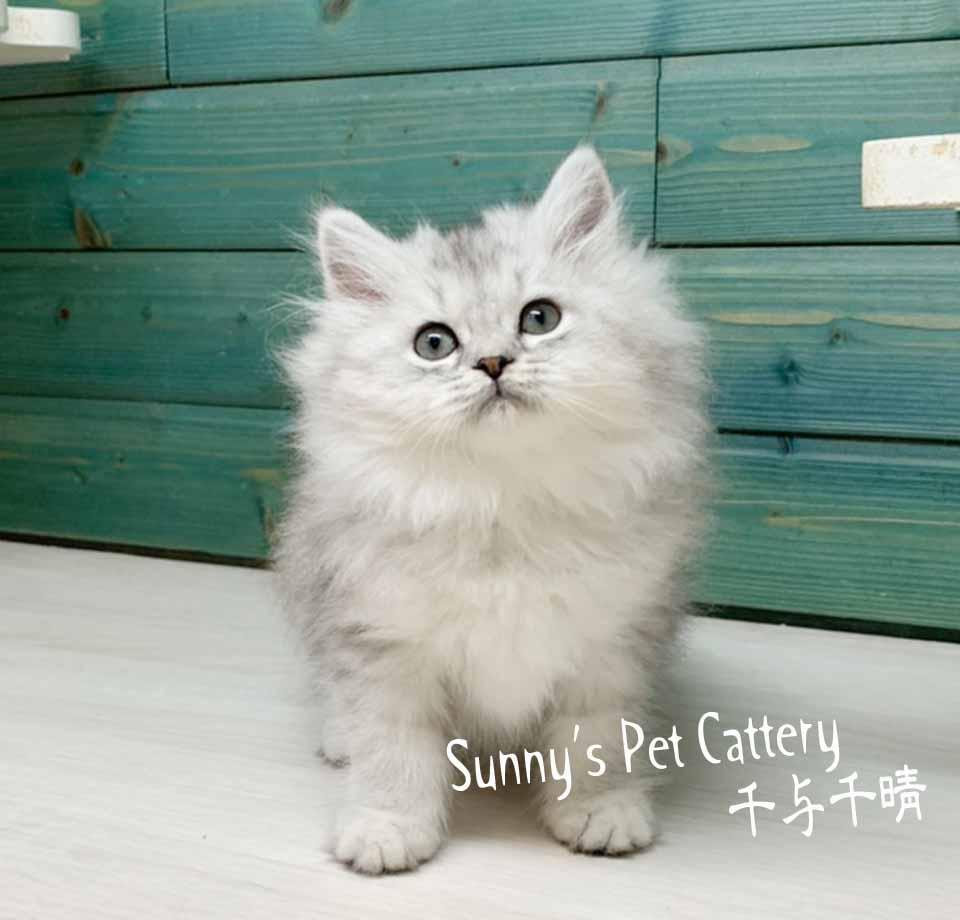 千晴寵物坊/銀白色炸毛金吉拉小松鼠