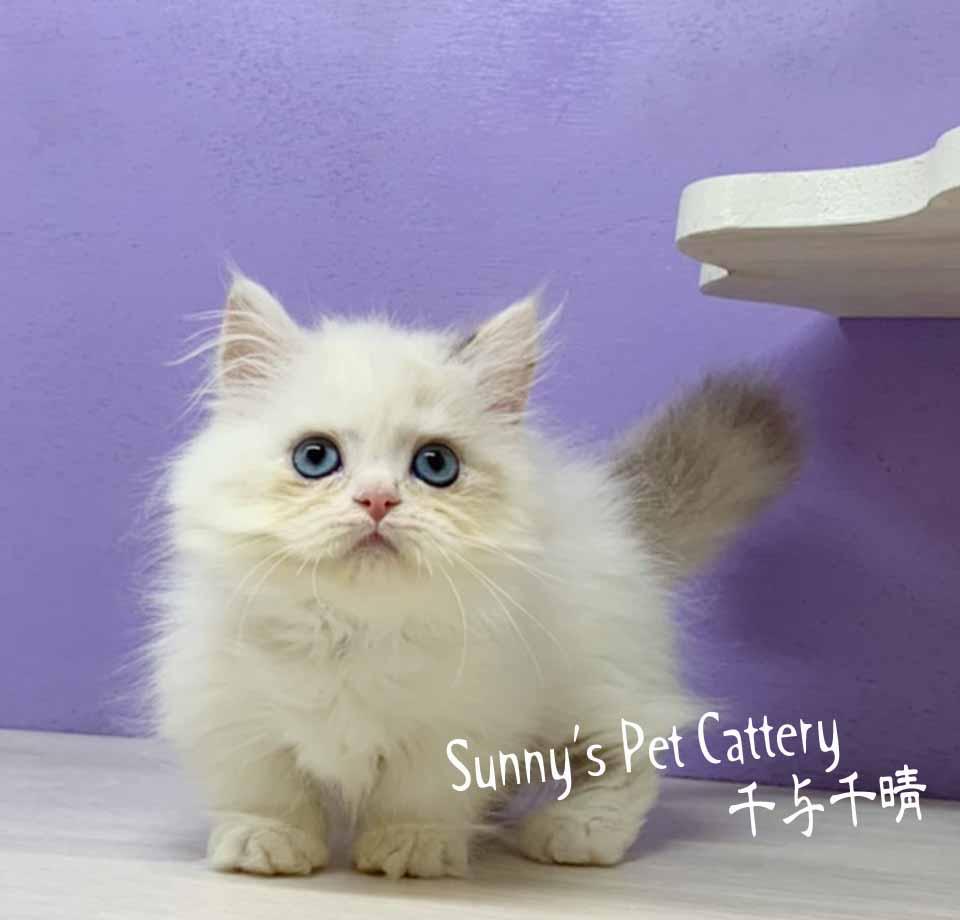 千晴寵物坊/梵色小步舞曲短腿貓