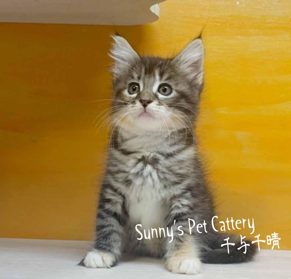 千晴寵物坊/棕三花虎斑 挪威森林貓