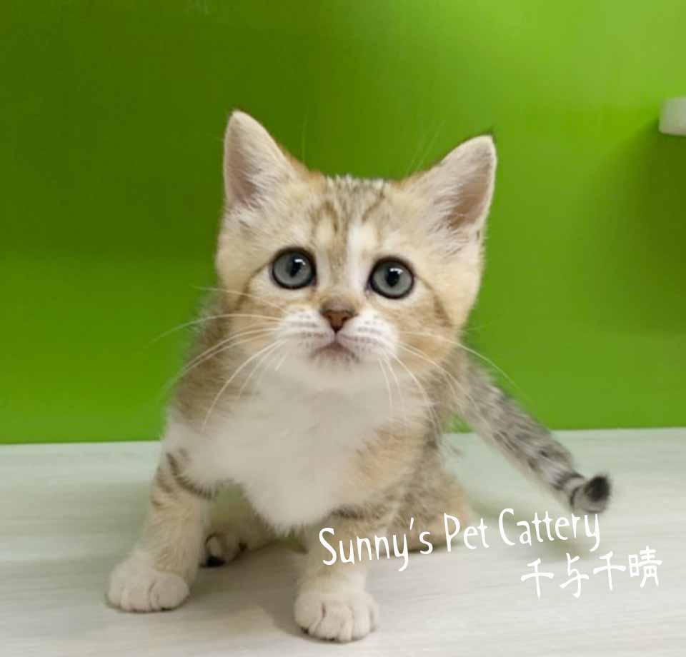 千晴寵物坊/黃金虎珀 英國短毛貓