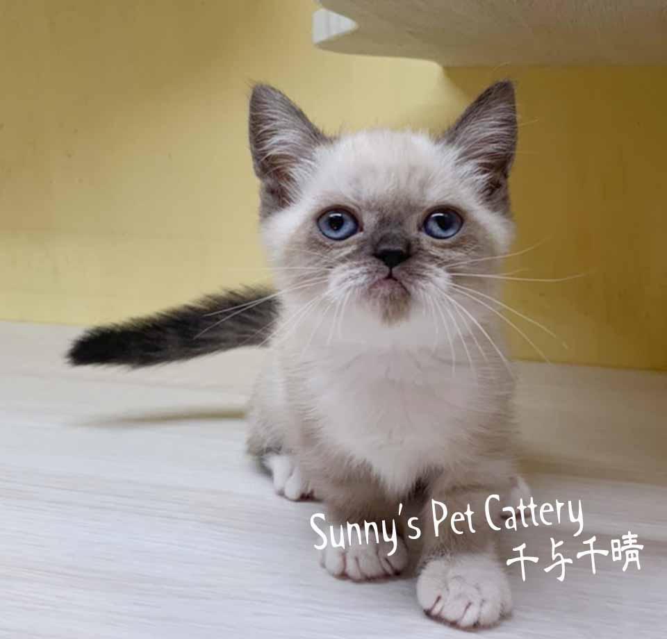 千晴寵物坊/海豹重點白手套 布偶色短腿貓