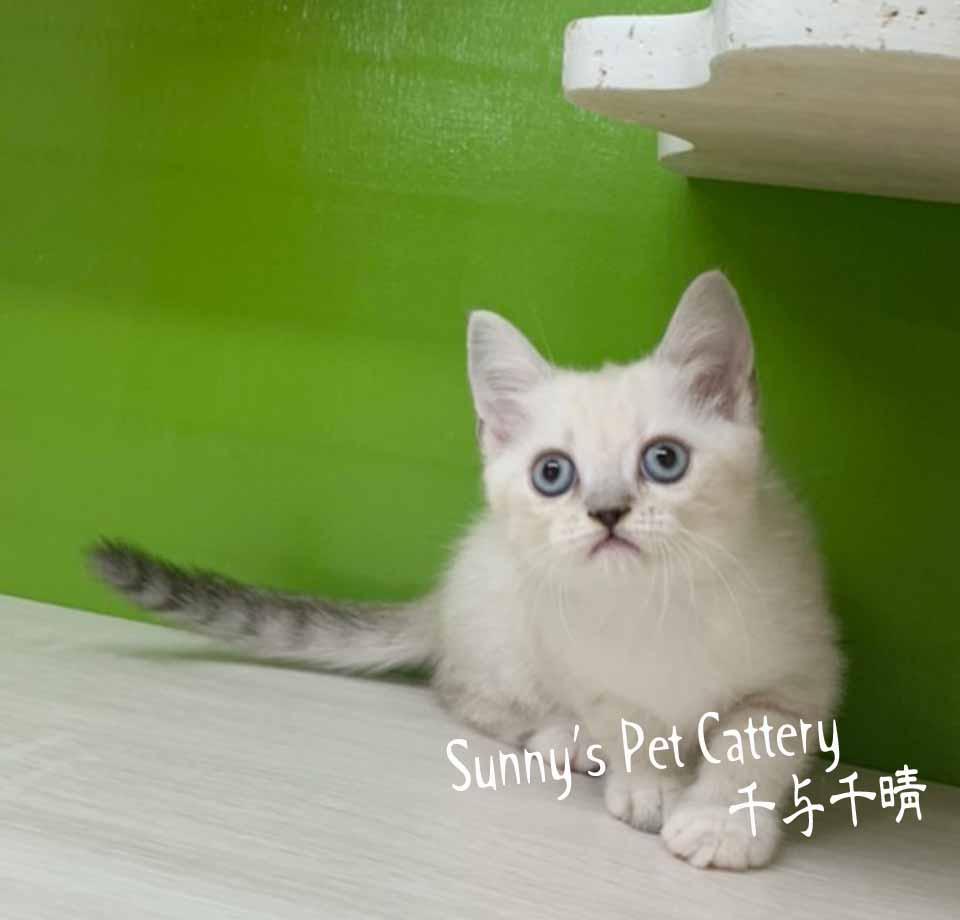 千晴寵物坊/藍山貓重點 布偶色英短