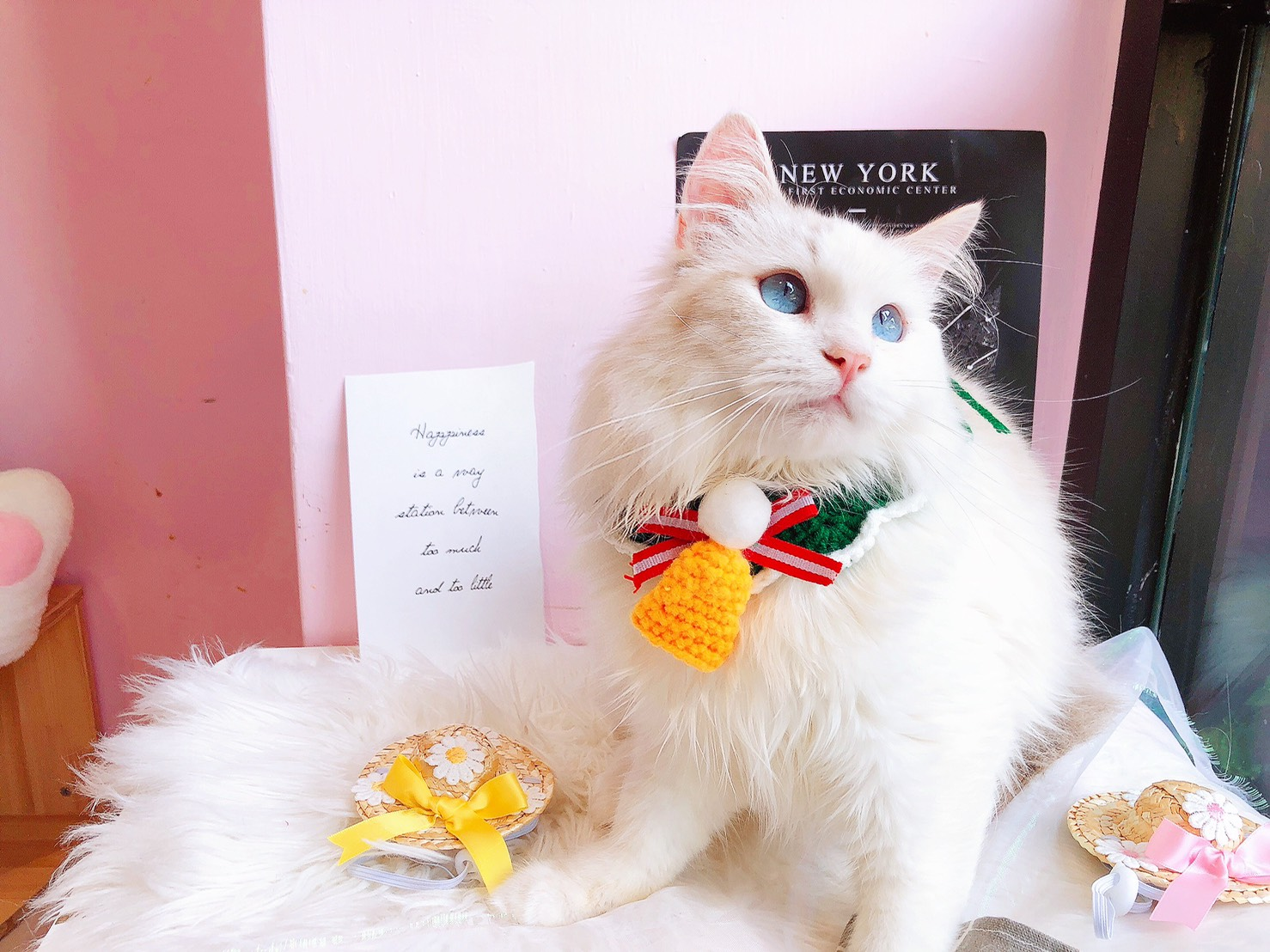 月亮糖糖喵樂園/山貓雙色 布偶貓弟弟