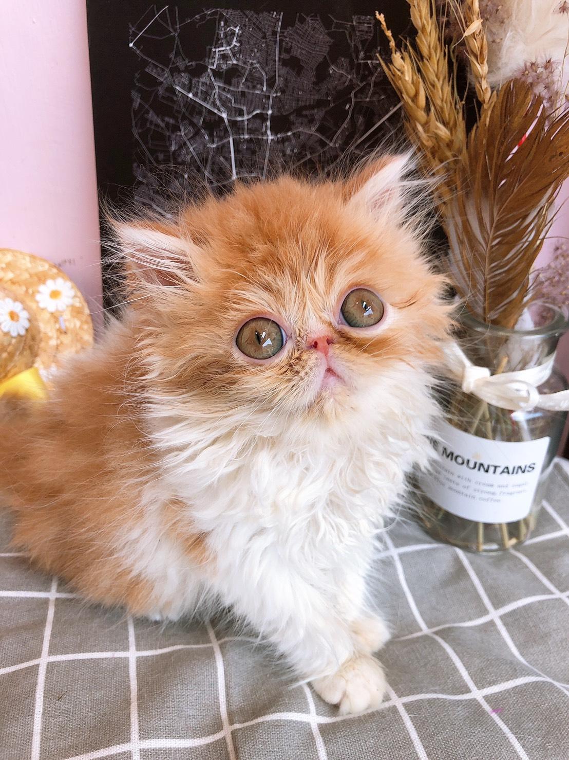月亮糖糖喵樂園/橘白色 一線高等級波斯貓