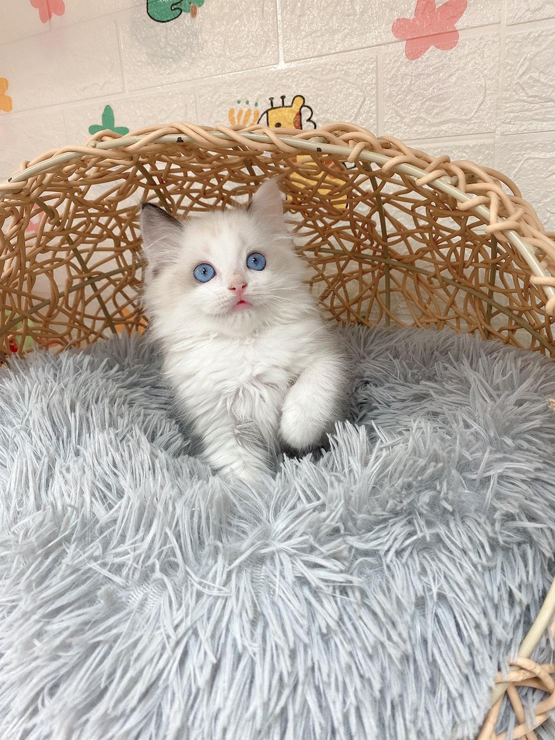 旻利寵物坊/布偶貓 海豹雙色妹妹